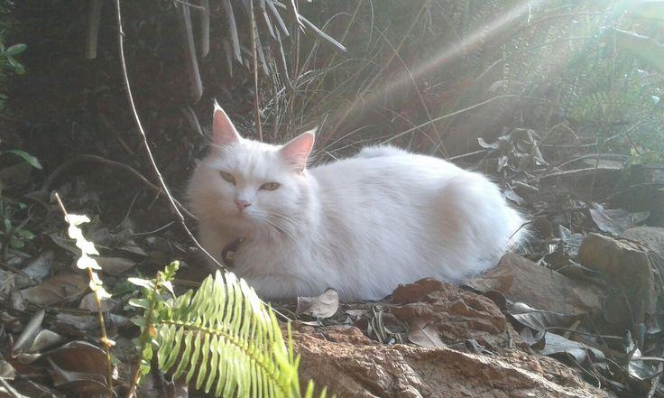 Cat in the bush. Misty, a Persian X.