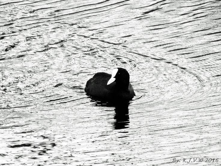 https://flic.kr/p/E5PKRk | Monochrome Coot | The coot is innately monochrome himself