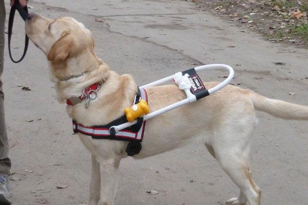 На роль поводырей лучше всего подходят умные породы: немецкие овчарки, лабрадоры, ризеншнауцеры и ротвейлеры. Но допускается дрессировка и других пород. Слепой человек можно часто ошибаться в своих решениях, но решение завести четвероногого помощника - верное. Правда, многие люди не решаются завести себе такого питомца. Уж больно противоречивая информация распространяется о собаках-поводырях. Некоторые мифы достойны того... http://www.molomo.ru/myth/guide_dogs.html #Собаки-поводыри