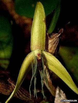 The Bulbophyllum nocturnum is the first orchid species, out of about 25,000, to only flower at night