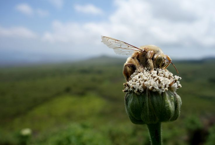 Overlooking the beautiful vista of San Cristobal in the Galapagos Islands, a male carpenter bee drinks nectar from one of the native Scalesia flowers. (It was also a windy day; I was afraid he was going to bump into my camera.)