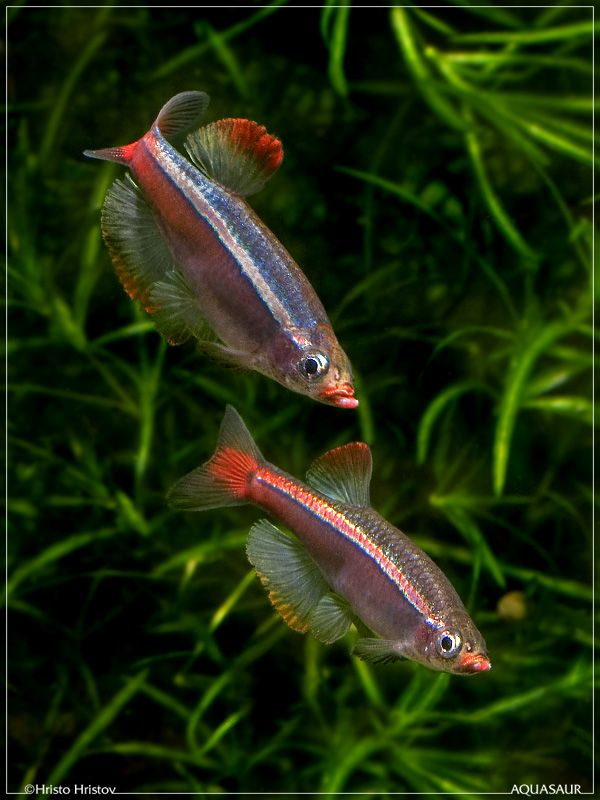 White Cloud Mountain Minnows super colour morph