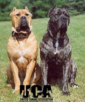 Mastiff Pitbull Mix | Weight: The desired weight for the American Bandogge Mastiff is males ...