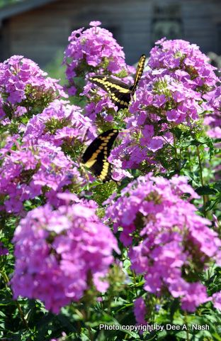 Swallowtails on Phlox paniculata.: Favorite Flowers, Flowers Plants Tre