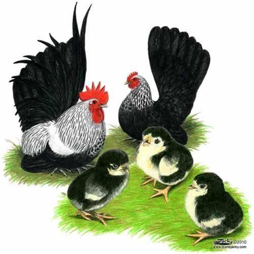 Gray Japanese Bantam Chickens for Sale - eFowl.