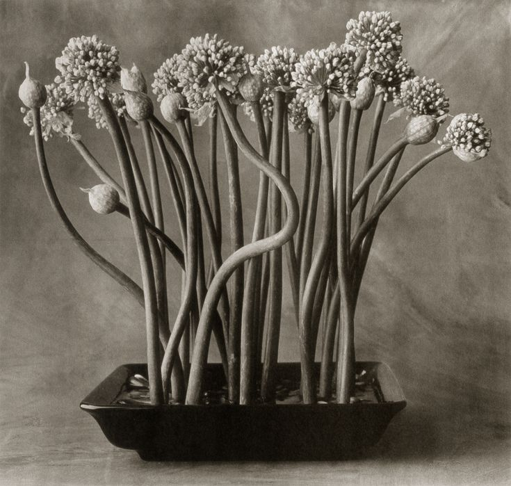 Onion Flowers ©Cy DeCosse Fine Art Photography. The Beauty of Food Collection. Limited edition platinum-palladium print. CyDeCosse.com #photography #art #food