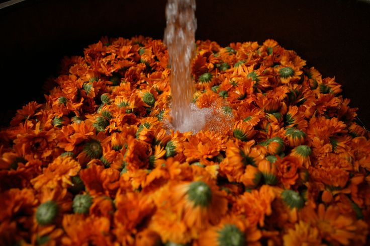 Calendula (Marigold) essence processing. Begin harvesting the Calendula as soon as the first flowers open fully and then continue throughout the spring and summer season. Harvest mid-day, when the flowers and foliage are dry, and after the dew from the morning has evaporated. Then cut the stems, as close to the flower head as possible. Drying Calendula is the most common way to preserve the medicinal properties of the flower.  www.villagespas.com #DrHauschka #skincare #Body #shopfacecreams