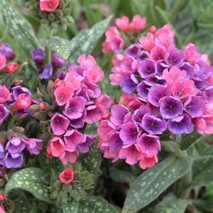 "Lungwort - purple flowers, shade garden  ""I have these!  But mine are more purple"""