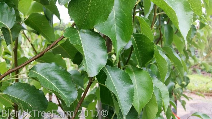 Pyrus calleryana Chanticleer – Purchase Bare Rooted Trees Online