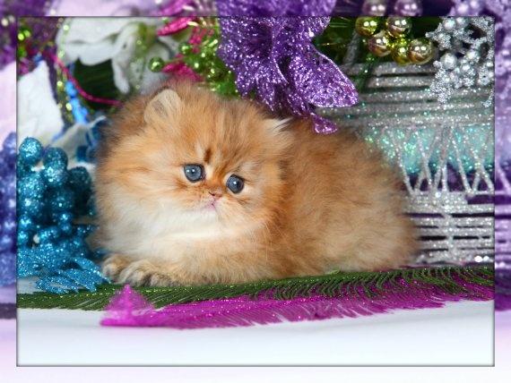 Golden Chinchilla Teacup Kitten