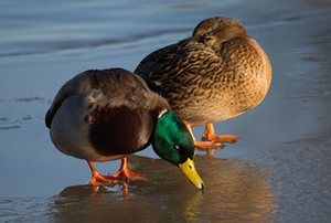Ducks on ice at WWT Slimbridge