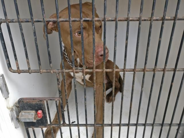 12/29/16-Houston - ** watch my video and take me home with you!!** LAST DAY TUESDAY 01/03/17!! This DOG - ID#A474510 I am a male, brown Pit Bull Terrier. My age is unknown. I have been at the shelter since Dec 23, 2016. Harris County Public Health and Environmental Services. https://www.facebook.com/harriscountyanimalshelterpets/videos/1364587906938337/