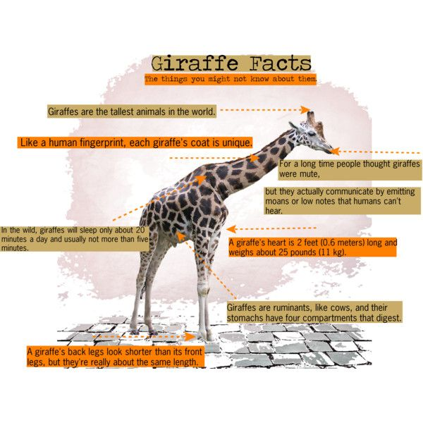 Giraffe Facts: The things that you might not know about them