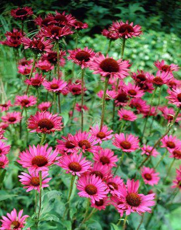Solhatt, Echinacea purpurea 'Vintage Wine' | Perenn som lyser i purpurrött, rosa och brunt. Sår man frön får man oftast vänta ett år på att de ska blomma.