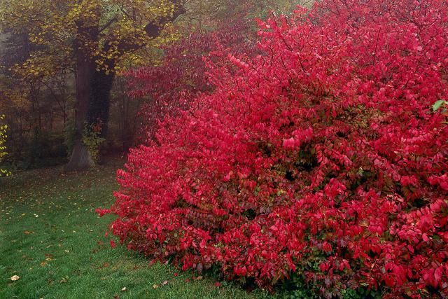 Burning Bush Shrubs. Forms dense thickets in eastern North American forests that can out-compete native plants and form a monoculture. Some eastern U.S. states are now banning the importation of burning bush and other alien invasives.