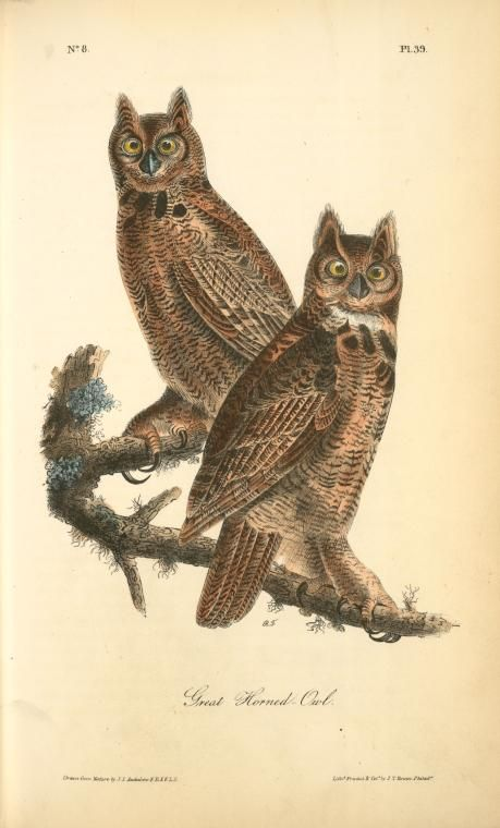 Geat Horned Owl. From New York Public Library Digital Collections.