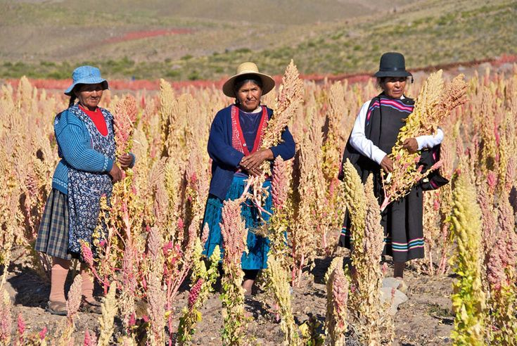 Quinoa famers in Bolivia show off their latest crop which could help promote food security and eradicate poverty. Photo: Claudio Guzmán/FAO