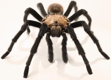 10 Fascinating Facts About Tarantulas