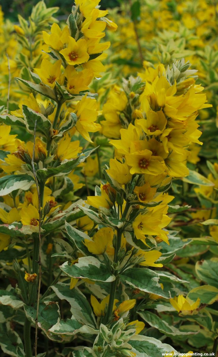 58 best perennial perfection images on pinterest for Plant with tall spikes of yellow flowers