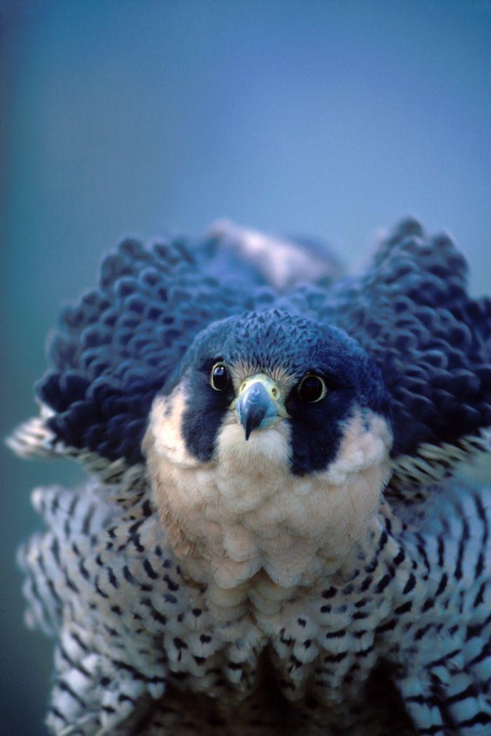 Google Image Result for http://blog.audubonguides.com/files/2012/07/JBallard_Peregrine-Falcon_2.jpg