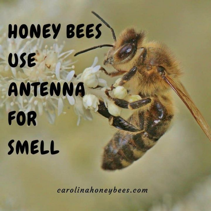 An acute sense of smell helps bees locate nectar and