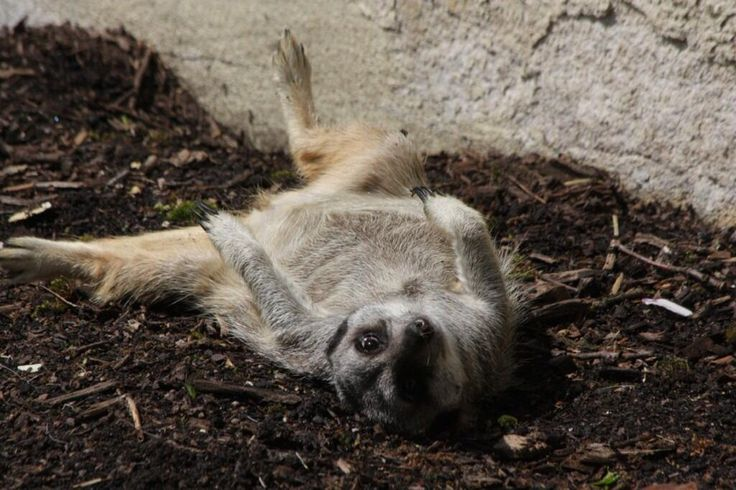One of our #Meerkats having a lie down. @TomAllen666 @ParadiseWildlifePark @followthekeeper pic.twitter.com/PNuxyBGnck