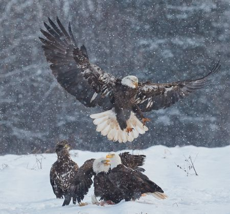 Eagles in the snow Photo by David Elliott — National Geographic Your Shot