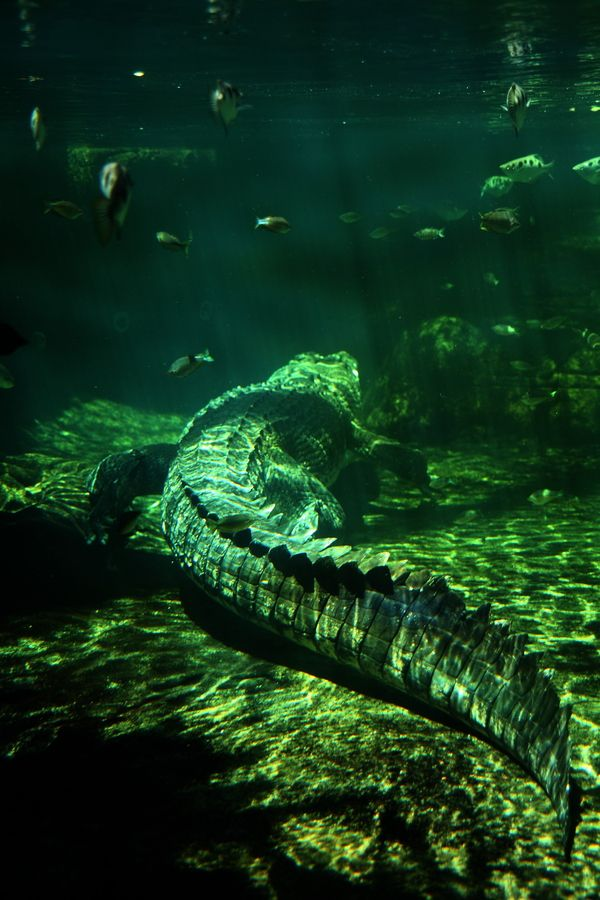 Great photograph of a crocodile hiding underwater.