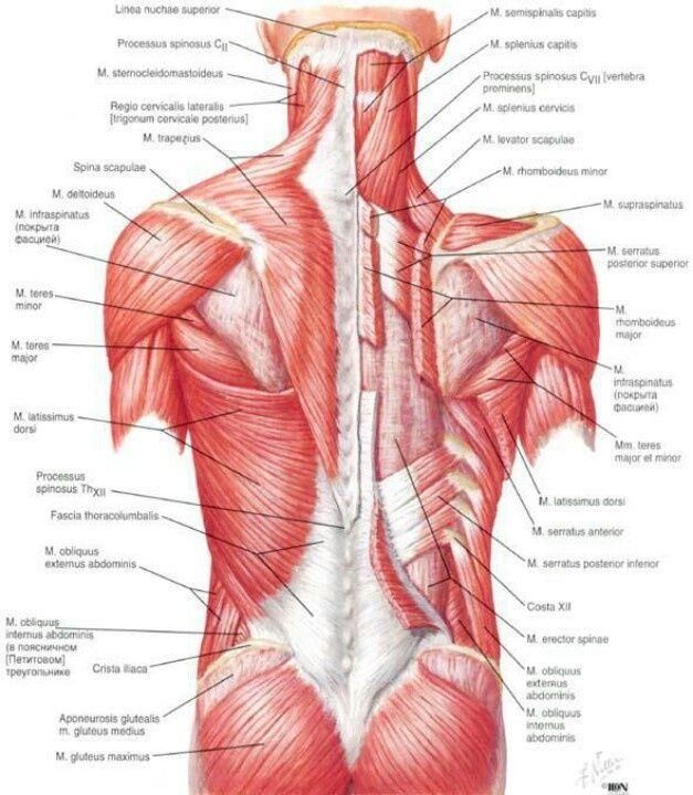 Anatomi muskuläre System Rücken Muskuläre Strukturen