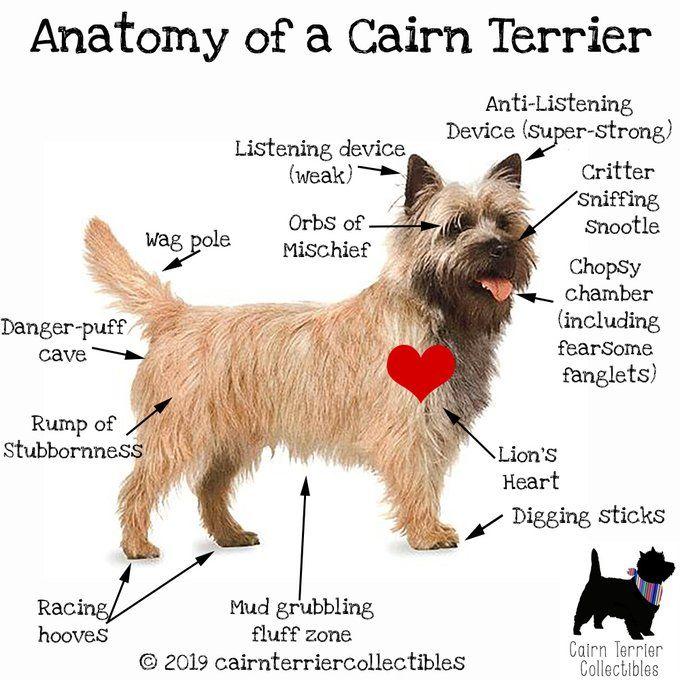 Cairn Terriers On Cairn Terrier Terrier Cairn Terrier Mix