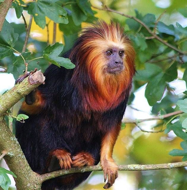 The golden-headed lion tamarin (Leontopithecus chrysomelas) is endemic to Brazil. It is found only in the lowland and premontane tropical forest fragments in the state of Bahia, and lives in forests at heights of 3–10 metres.