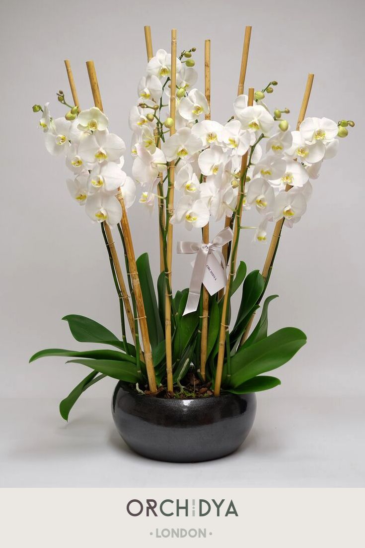 One orchid is simply not enough - choose many for the ultimate white orchid flower arrangement.  #myfloristorchidya #bloomsbury #orchidya #gorgeousflowers #flowerstagram #flowers #flowerlove #flowerphotography #flowerinspiration #floristsofinstagram #londonflorist #flowershop #floristy #florist #britishflowers  #localflowers #white #whiteorchids #orchids