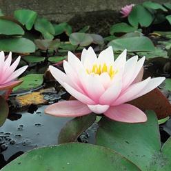 www.rustica.fr - Bassin : 12 plantes ornementales - Nénuphar 'Anna Epple'