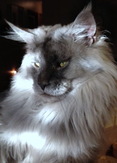 Maine Coon - Maine Delite's Oliver Twist http://www.mainedelitecattery.com/site/Oliver.html