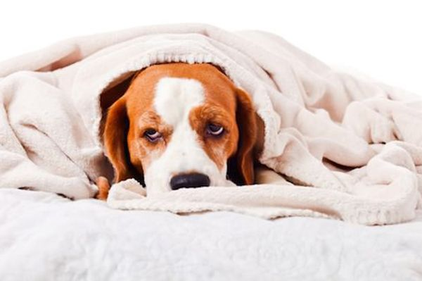 Can You Give a Dog Imodium Kaopectate or Pepto-Bismol for His Upset Stomach? / #doglovers #dog #dogs #pets #dogsoftwitter