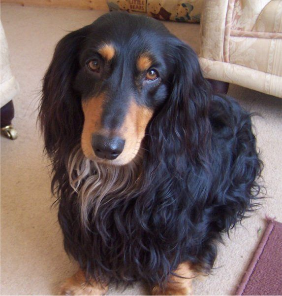 Long haired dachshunds have the greatest personalities!