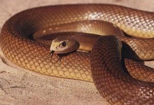 9.- Serpiente Taipan del interior.   Estas serpientes, que llegan a medir 2.7 metros, tienen un veneno basado en neurotoxinas que utilizan para paralizar a sus víctimas. Una mordedura es suficiente como para matar a un hombre. No en vano su LD50 es de 10 microgramos/Kg y una cantidad de 44.2 miligramos por ataque.