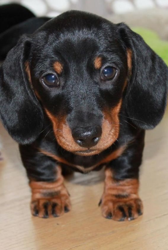 ❤Look at those short little legs!! Love doxies