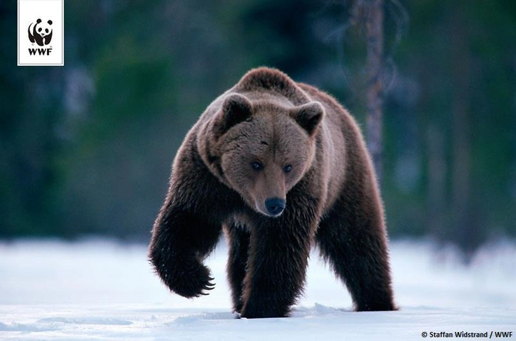 Brown Bear in Bieszczady Mountains, Poland