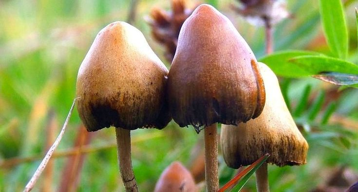 You gotta love Colorado  Colorado voters may have a chance to legalize psychedelic mushrooms