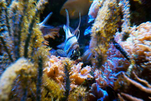 Cardinalfish Banggai (Pterapogon kauderni)
