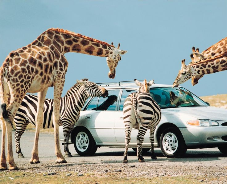 lion safari ontario tickets
