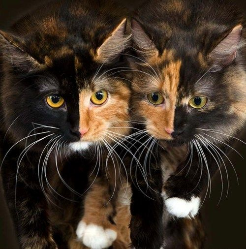 Now those are awesome markings! Beautiful kitties~