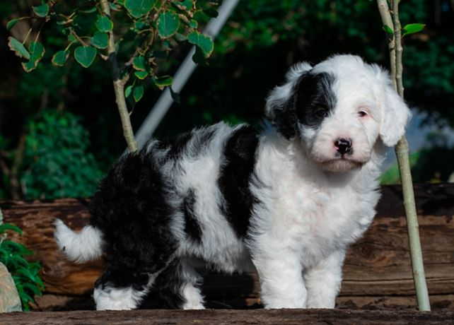 This Sweet Puppy Is 6 Weeks Old She Is From Mountain Rose Bordoodles Bordoodle Borderdoodle Mountainrosebordoodles Doodle P Bordoodle Dog Breeds Puppies