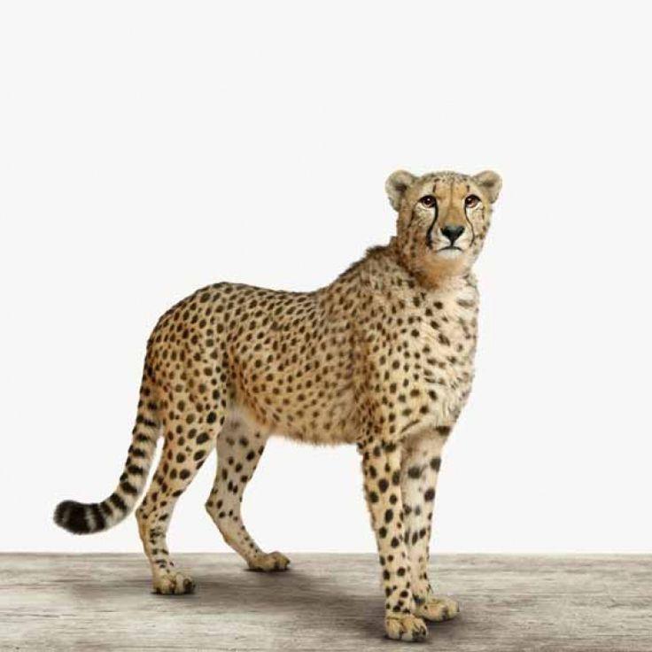 Stijlvolle jachtluipaard voor bij jouw aan de muur in je slaapkamer of woonkamer. Op canvas, hout, glas, poster, foto op aluminium.