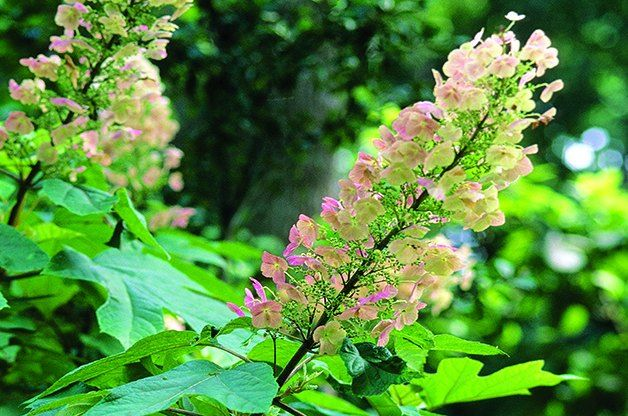 Top 10 Shrubs for Shade: Oakleaf Hydrangea The white blooms on this 4- to 6-foot shrub change to a purplish-pink in late summer. Then the leaves take over and put on a spectacular fall show in shades of red, orange, brown and purple.  Why we love it: It combines the pretty blooms of a hydrangea and the distinctive leaf shape of an oak tree. Even if you don't get consistent blooms, the foliage is definitely worthwhile.