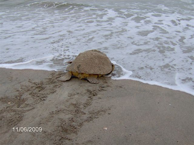 The Town Of Edisto Beach   Visitors   Loggerhead Sea Turtles
