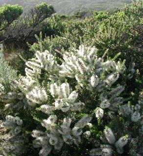 Ml - Melaleuca-lanceolata Moonah Flowers (x6)