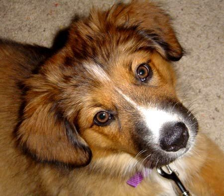 the eyebrows Beagle Shepherd Mix Photo - Happy Dog Heaven