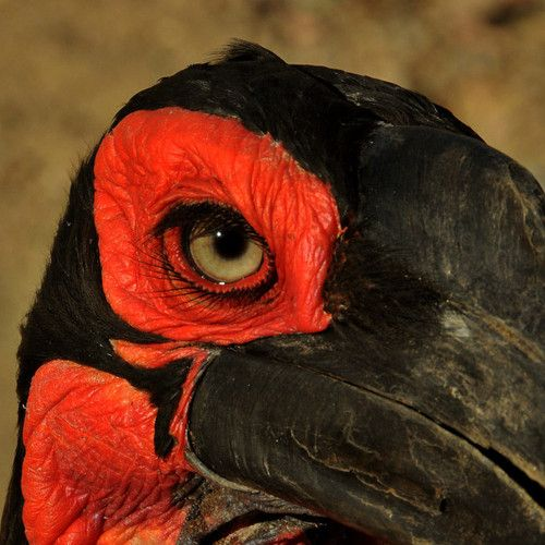 southern ground hornbill; Not only is the color amazing, but I love how the photographer went with this image.